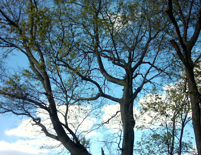 berkley_cemetery_trees.jpg (159959 bytes)